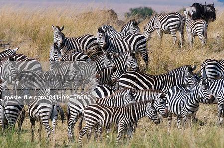 Grant's zebras (Equus quagga boehmi) on the Mara River bank, Masai Mara, Kenya, East Africa, Africa