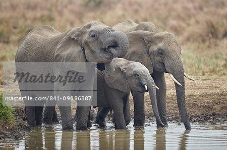 Three African elephant (Loxodonta africana) drinking, Mikumi National Park, Tanzania, East Africa, Africa