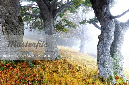 Fog among secular trees. Montemezzo, Como Lake, Lombardy. Italy.