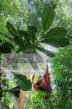 Sumatran orangutan climbing a tree in Gunung Leuser National Park, Northern Sumatra.