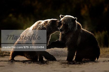 Brown bears (Ursus arctos alascensis), Brooks River, Katmai National Park and Preserve, alaska peninsula, western Alaska, United States of America
