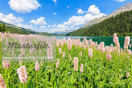 Spring bloom of Persicaria bistorta at Lej da Champfèr, St Moritz, canton of Graubünden, Upper Engadine, Switzerland, Europe