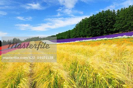 Flower field, Hokkaido, Japan