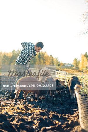 Mid adult male farmer feeding pigs at animal pen in organic farm