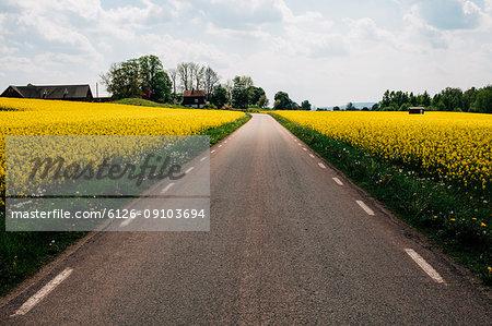 Oilseed rape growing along country road