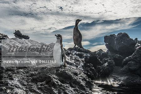 Galapagos Penguin and Flightless Cormorant resting on rocks, Seymour, Galapagos, Ecuador