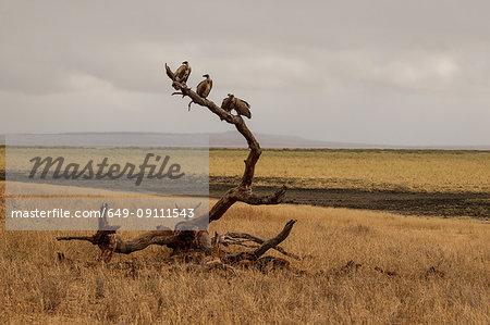 Vulture, Trigonoceps occipitalis, Tarangire National Park, Tanzania