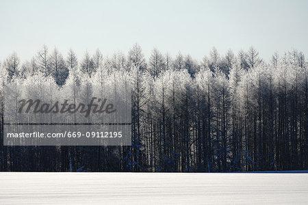 White Birch in Winter