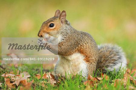 Grey squirrel, Richmond Park, Greater London, England, United Kingdom, Europe