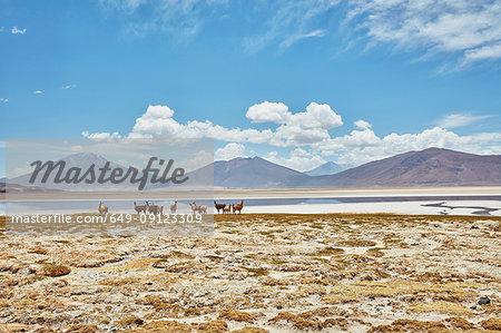 Herd of llamas on landscape, Salar de Chiguana, Chiguana, Potosi, Bolivia, South America