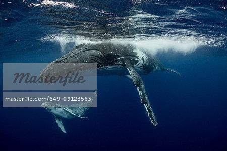 Humpback whale (Megaptera novaeangliae) and calf in the waters of Tonga