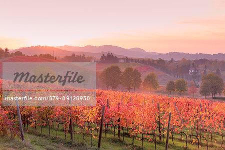 Lambrusco Grasparossa Vineyards in autumn at sunset. Castelvetro di Modena, Emilia Romagna, Italy
