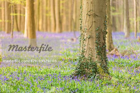 Bluebells carpet into the Halle Forest, Halle, Bruxelles, Flemish Brabant, Flanders, Belgium