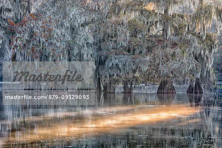 Taxodium distichum, Bald Cypress, Lake Martin, Atchafalaya Basin, Breaux Bridge, Louisiana, United States