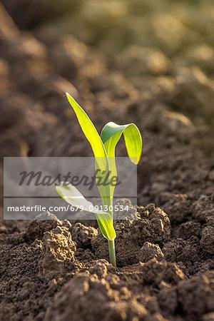 Corn seedlings in soil.