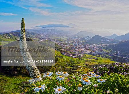 Arrebol tajinaste (Echium simplex), endemic plant, Mirador de Jardina, Tenerife Island, Canary Islands, Spain, Atlantic, Europe