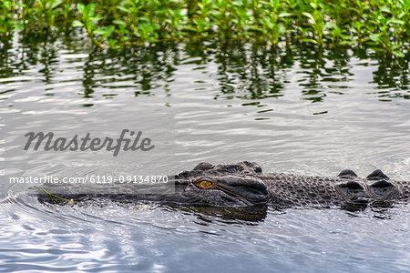 Saltwater crocodile in Kakadu, Northern Territory, Australia, Pacific