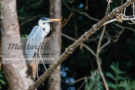 An adult cocoi heron (Ardea cocoi), Porto Jofre, Mato Grosso, Pantanal, Brazil, South America