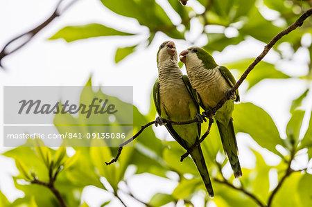 A pair of monk parakeets (Myiopsitta monachus), Pousado Alegre, Mato Grosso, Brazil, South America
