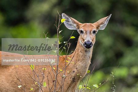 Adult female marsh deer (Blastocerus dichotomus), Pousado Alegre, Mato Grosso, Brazil, South America