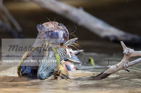 Giant river otter (Pteronura brasiliensis), feeding near Puerto Jofre, Mato Grosso, Pantanal, Brazil, South America