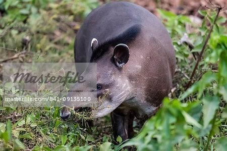 An adult South American tapir (Tapirus terrestris), Pousado Rio Claro, Mato Grosso, Brazil, South America