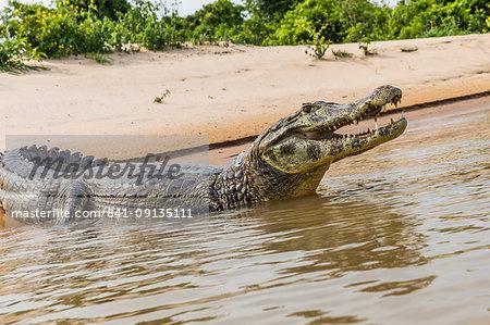 An adult yacare caiman (Caiman yacare), on the riverbank near Porto Jofre, Brazil, South America
