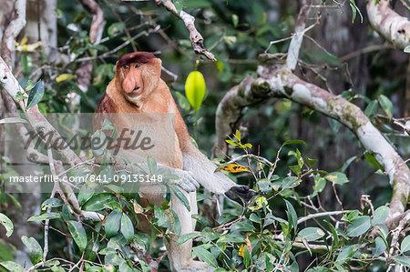 Adult male proboscis monkey (Nasalis larvatus), Tanjung Puting National Park, Kalimantan, Borneo, Indonesia, Southeast Asia, Asia