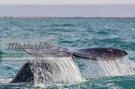 Adult California gray whale (Eschritius robustus) flukes-up dive in San Ignacio Lagoon, Baja California Sur, Mexico, North America
