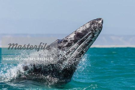 California gray whale calf (Eschritius robustus) breaching in San Ignacio Lagoon, Baja California Sur, Mexico, North America