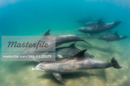 A pod of common bottlenose dolphins (Tursiops truncatus), underwater at El Mogote, Baja California Sur, Mexico, North America