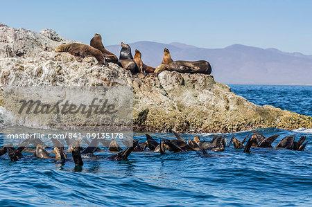 California sea lions (Zalophus californianus), thermoregulating, Isla San Marcos, Baja California Sur, Mexico, North America