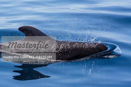 Adult short-finned pilot whale (Globicephala macrorhynchus), surfacing near Isla Danzante, Baja California Sur, Mexico, North America