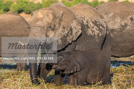 Elephant (Loxodonta africana) and calf, Chobe National Park, Botswana, Africa