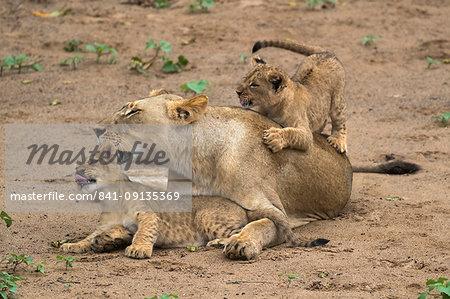 Lioness (Panthera leo) with cubs, Zimanga Game Reserve, KwaZulu-Natal, South Africa, Africa