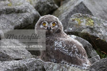 European (Eurasian) eagle owl (Bubo bubo) chick, captive, Cumbria, England, United Kingdom, Europe