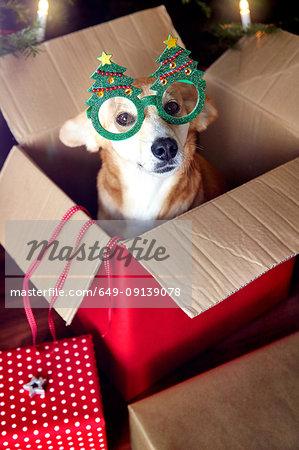 Dog in box, wearing Christmas tree eyeglasses