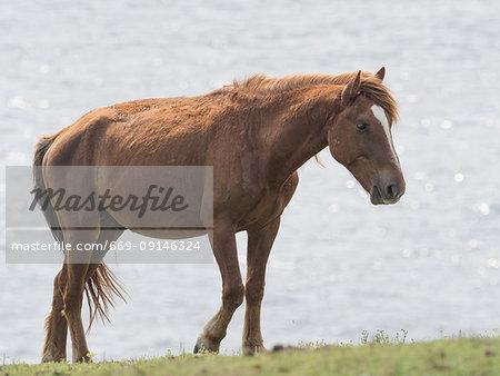 Yonaguni Horse