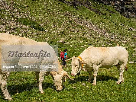 Woman hiker passing two cows near Pont d'Estaube, France