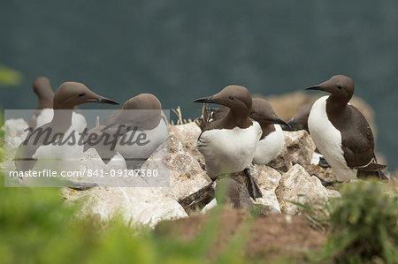 Guillemots on Skomer Island, Pembrokeshire, Wales, United Kingdom, Europe