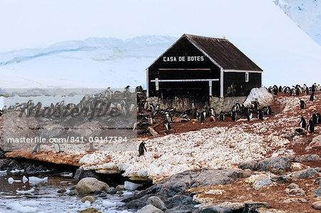Gentoo penguin (Pygoscelis papua) colony, boat hut of Chilean Gonzalez Videla Station, Waterboat Point, Paradise Bay, Antarctica, Polar Regions