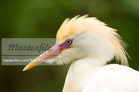 Portrait of Cattle Egret (Bubulcus ibis), United States of America, North America
