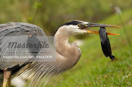 Portrait of Great Blue Heron (Ardea herodias) eating fish, United States of America, North America