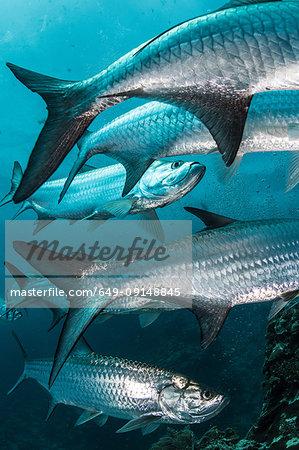 Underwater shot of large tarpon fish gathering, Quintana Roo, Mexico
