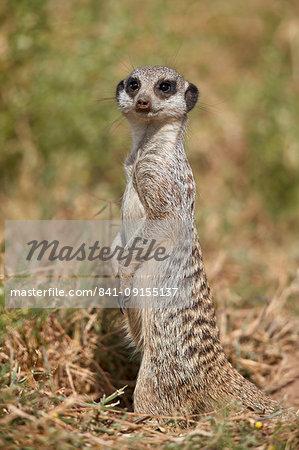 Meerkat (Suricate) (Suricata suricatta), Mountain Zebra National Park, South Africa, Africa