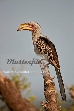 Southern Yellow-billed Hornbill (Tockus leucomelas), Kruger National Park, South Africa, Africa