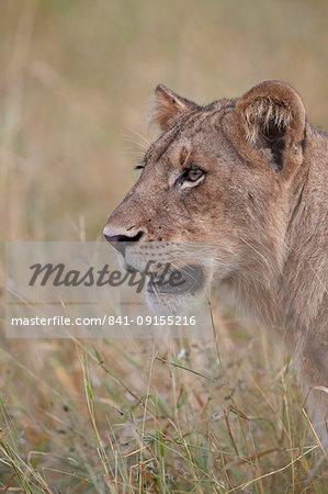 Lion (Panthera leo) cub, Kruger National Park, South Africa, Africa