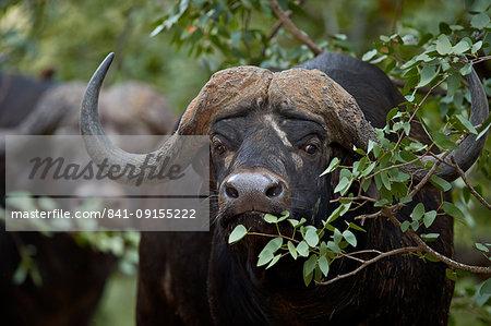 Cape Buffalo (African Buffalo) (Syncerus caffer), Kruger National Park, South Africa, Africa