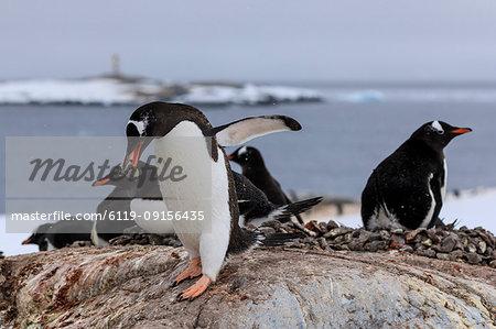Gentoo penguin (Pygoscelis papua) carries pebble in colony, Damoy Point, Wiencke Island, Antarctic Peninsula, Antarctica, Polar Regions