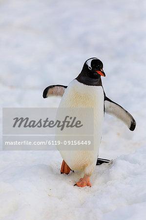 Gentoo penguin (Pygoscelis papua), Cuverville Island, Errera Channel, Danco Coast, Antarctic Peninsula, Antarctica, Polar Regions